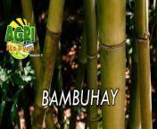 Mga produktong gawa sa bamboo, alternatibo sa plastic products. Alamin natin mula kay Ginoong Mark Sultan Gersava.<br/><br/>#Bamboo<br/>#BuhayBukid<br/>#Agriculture<br/>#Farming<br/>#Farmer<br/>#Magsasaka<br/>#Philippines<br/>#organic<br/>#AgriAkoDyan<br/>#TMTTV<br/><br/>Paki like at share ang aming Facebook page.<br/><br/>Website: http://manilatimestv.com/<br/>Youtube: https://bit.ly/3tokAfv<br/>Dailymotion: https://bit.ly/3rMjLwJ